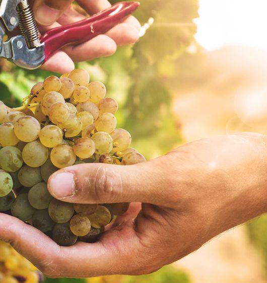 Sagra dell'Uva Marino